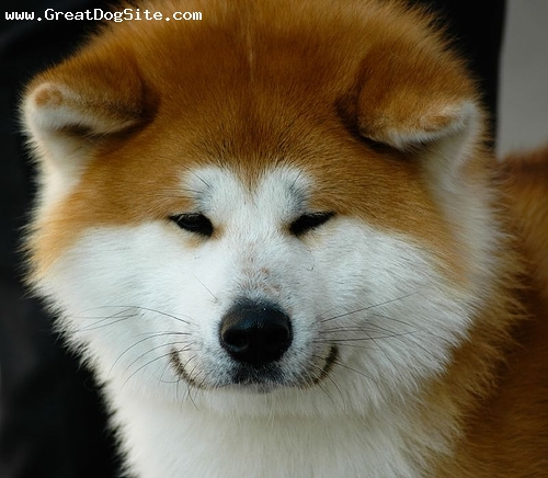 photo of a 9 months old, Red, Akita Inu - poofy face | GreatDogSite