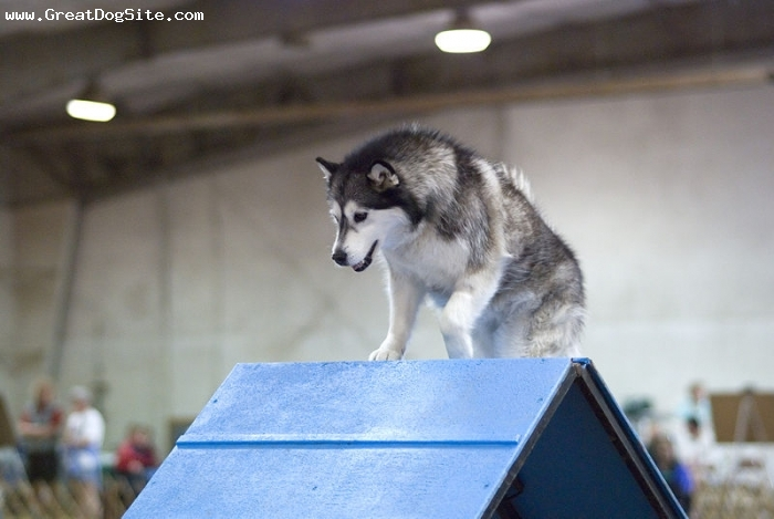 Alaskan Malamute, 1 year, Gray, at a dog show