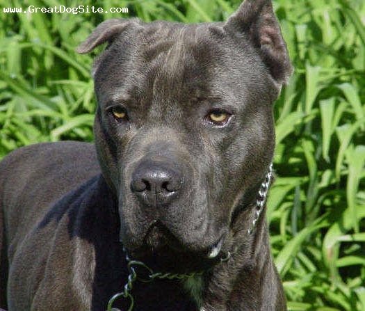 American Bull Molosser, 2 years, Black, face shot