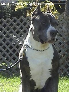 American Bull Molosser, 3 years, Black and White, very strong chest