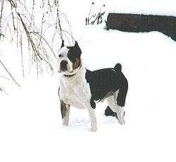 American Bull Molosser, 3 yearss, Tri color, playing in the snow