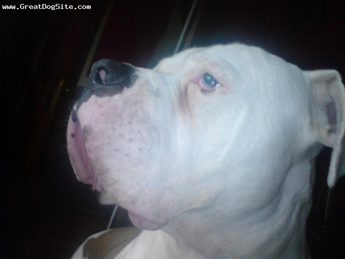 American Bulldog, 1 year 4 months, white and tan, big softie
