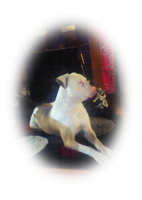 American Bulldog, 1 year 4 months, white and tan, POSING FOR THE CAMERA