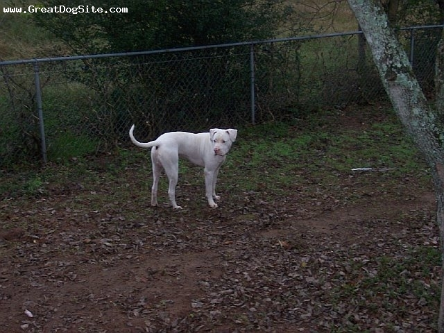 American Bulldog, 1, White, He just became a Daddy of 13 puppies.  He goes up to them and kisses them.  He is a great dad