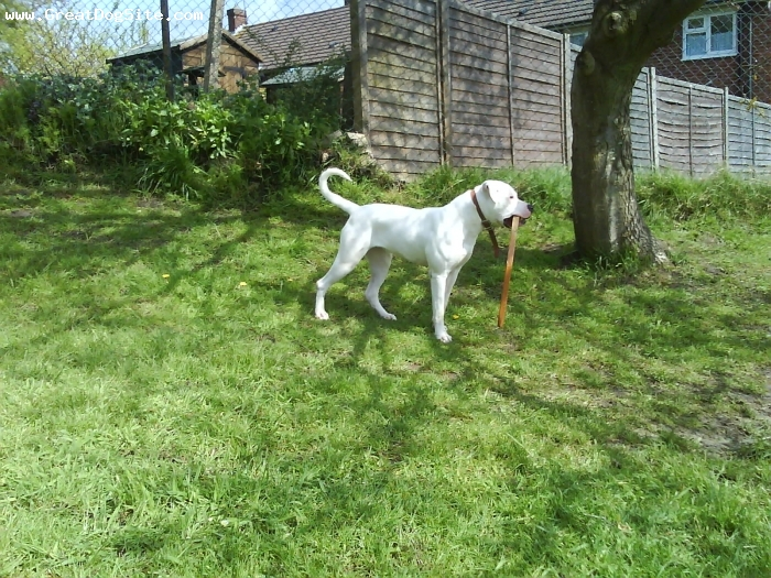 American Bulldog, 10 months, white, once she has a stick its best just to let her run out of steam as she loves to play can u catch me. she never runs off she just keeps out of arms reach running round and round.