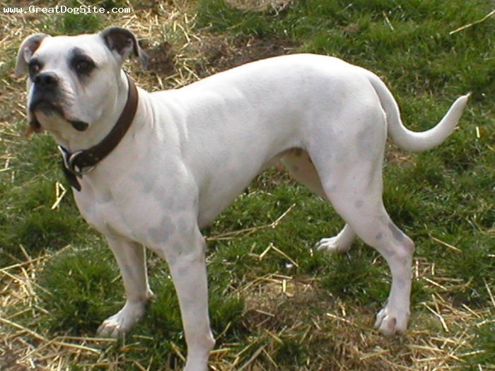 American Bulldog, 2 and a half, White, tight bred by Eric Rowe @ Pride Rock in Cincinnati