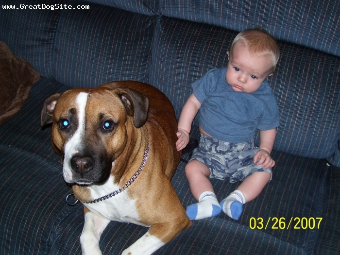 American Bulldog, 2 years, brown white black, my 1 year old son and my 3 year old american bulldog bruno