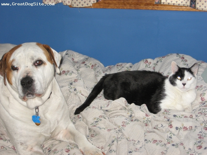 American Bulldog, 6, White, Sitting with the cat