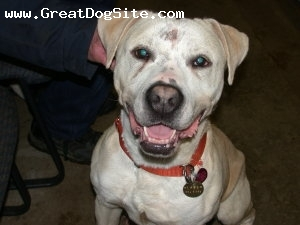 American Bulldog, young, white, he is a puupy that came from the oxford animal shelter.