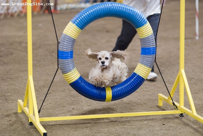 Cocker Spaniel, 2 years, White, jumping at a show