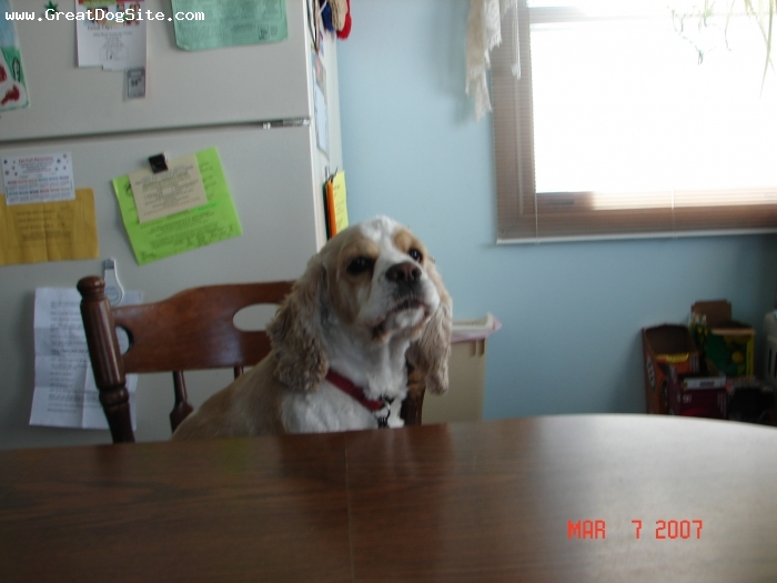 Cocker Spaniel, 4, white and buff, he is sitting at the kitchen table like one of us