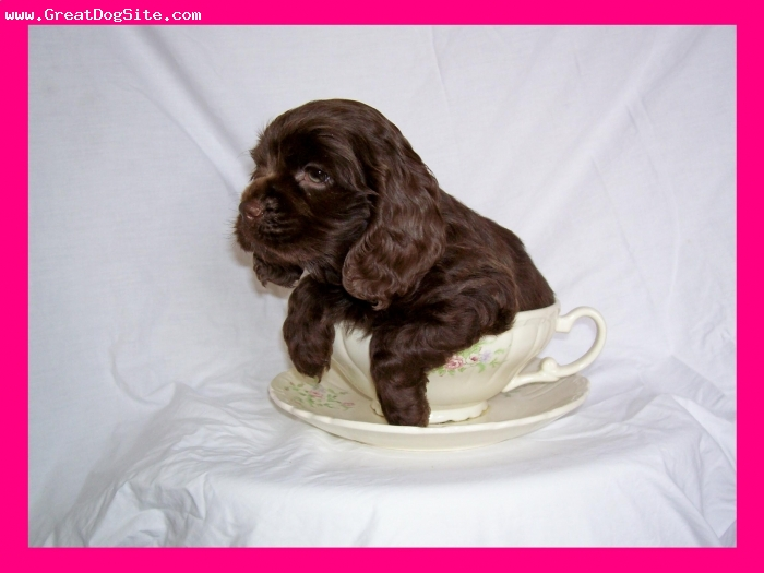 Cocker Spaniel, 8 weeks, Chocolate, One of our puppies breed here at Jordan Family Kennels