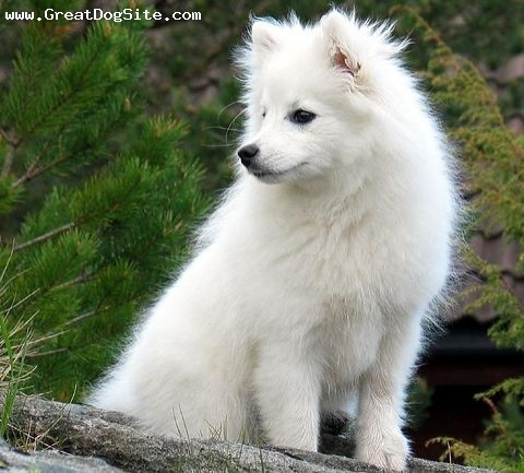 photo of a 2 years old, White, American Eskimo Dog - Posing outside ...