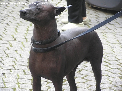 American Hairless Terrier, 2 years, Brown, Posing for the camera