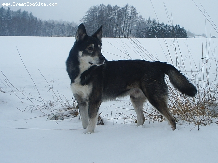 American Indian Dog, 9, dark gray, Mohawk of SOng Dog Kennels in Europe www.indiandog.nl