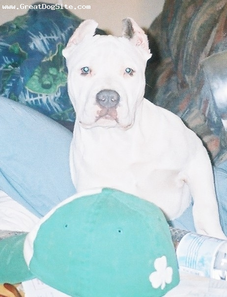 American Pit Bull Terrier, 20-WEEKS, WHITE-BLUE MARKINGS-BLUE NOSE, ONE OF TWO THAT CAME WITH A WHITE SKIN RATHER THAN BLUE.THE OTHER FOUR CAME BLUE BRINDLE-WITH WHITE MARKINGS.I BRED HAMMER TO HENASSY ON 4-5-08.IF YOU LIKE HABUSSA EMAIL ME A