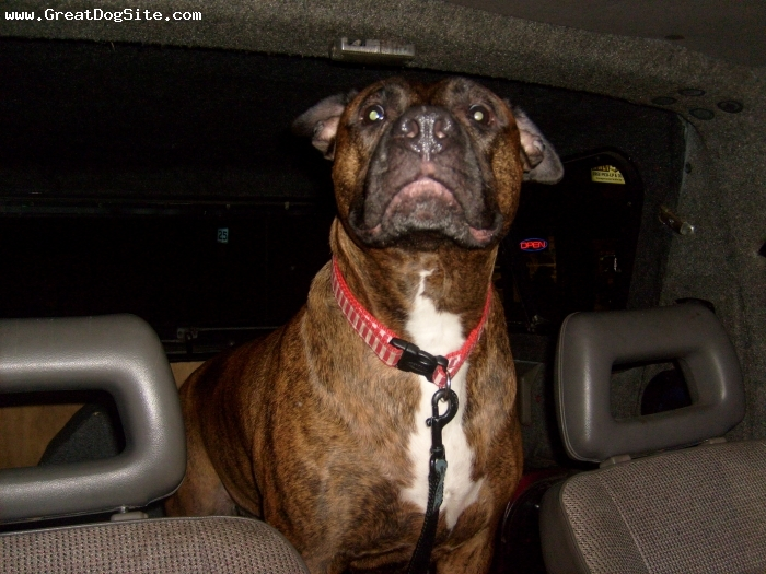 American Pit Bull Terrier, 7 yrs old, brindle, hes a very lovable dog, he loves to play nd sleep nd he actually cuddles with u