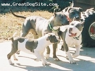 American Pit Bull Terrier, ALL AGES, BLUE-BLUE BRINDLE-WHITE, CHILDREN PLAYING PITS BY FRITTS-GHOSTKENNEL