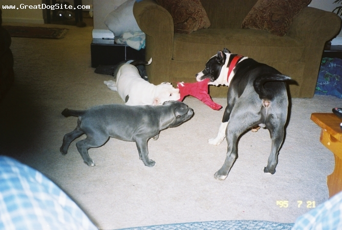 American Pit Bull Terrier, YOUNGSTERS, BLUE-WHITE-BLUEBRINDLE, OH CHILDREN