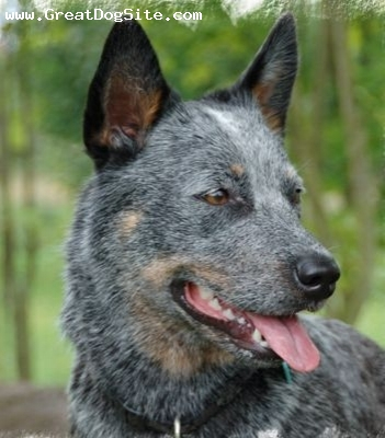 Australian Cattle Dog, 1.5 years, Brown, close up