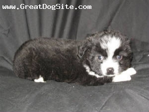 Australian Shepherd, 3 months, Black Bi, Ready now for new homes. Wormed, shots and vet checked. Call Janet 509-633-1263
