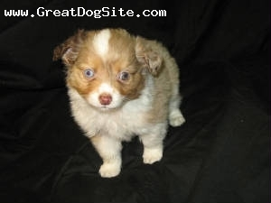 Australian Shepherd, 3 months, Merles, We have 3 puppies ready for their forever homes Call 509-633-1263. Male Puppies 3 months.
