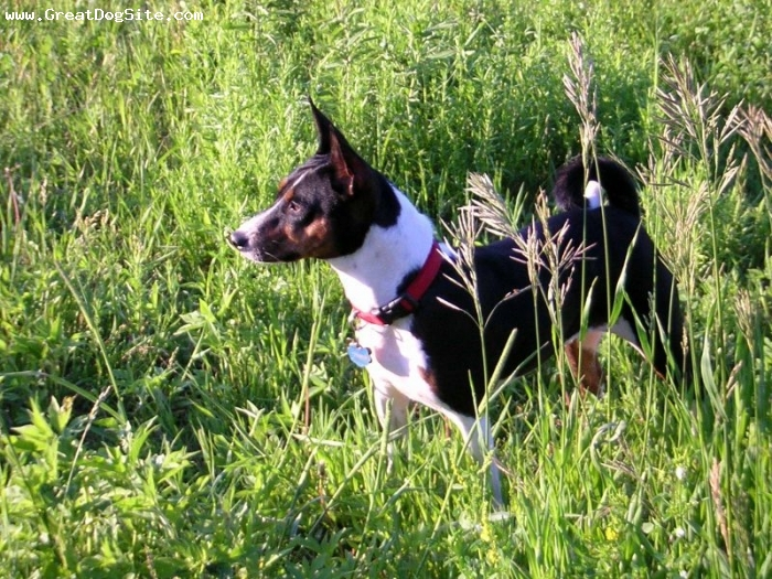 Basenji, 1 year, Tri Color, playing in the weeds
