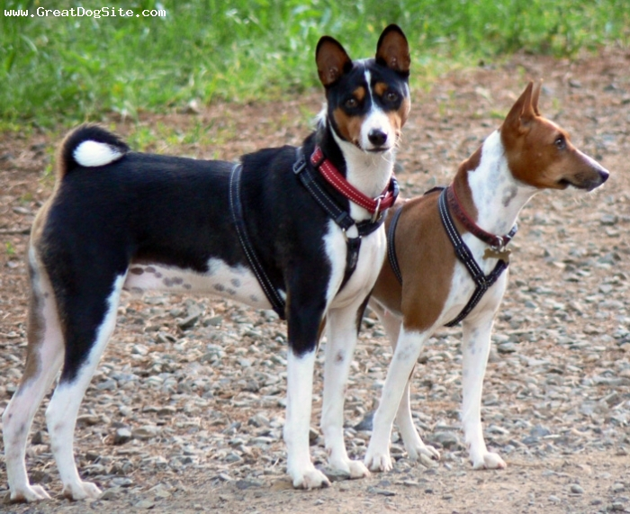 Basenji, 1.5 years, Brown, playing around
