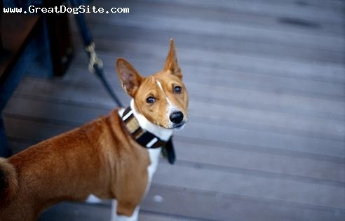 Basenji, 1.5 years, Brown, all tied up
