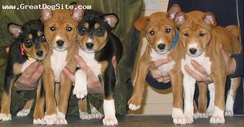 Basenji, 2 months, Brown, all newborns ready to go