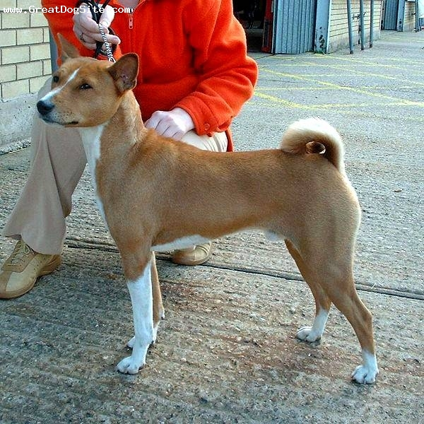 Basenji, 3 years, Brown, great form