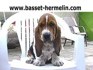 Basset Hound, 10 weeks, tricolor, BASSET HOUND  kennel   QUEEN´S HERMELIN  from  Czech republic in Europe  sell puppies, parents are champions.  Information  internet :