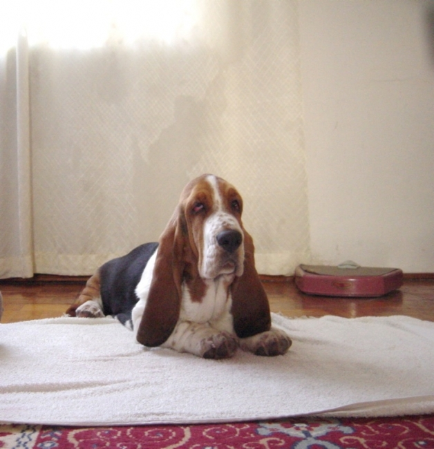 Basset Hound, 10 weeks, tricolor, BASSET HOUND  kennel   QUEEN´S HERMELIN  from  Czech republic in Europe  sell puppies, parents are champions.  Information  internet