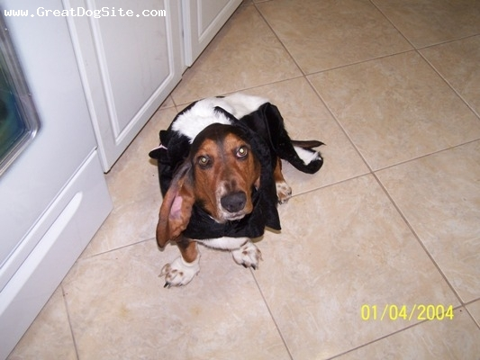 Basset Hound, 19mos, Black Tri-Color, It this photo Hunter is wearing his Halloween costume that I purchased at