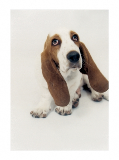 Basset Hound, 3 years old, blonde and white, The cutest dog in the world