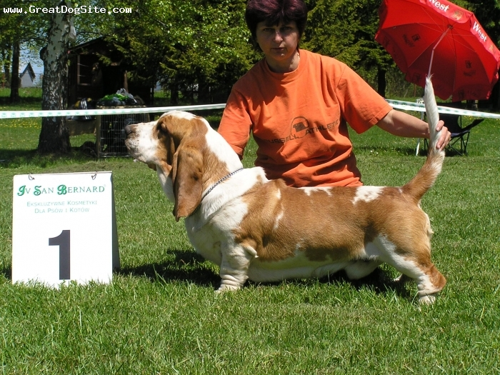 Basset Hound, 4 years, bi color,