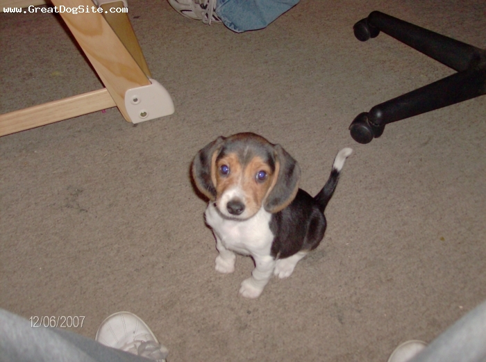 Beagle, 3 months, Tri-color, Definately a true Beagle. She is wonderful with my other pets,and my two small children. Loves to get lovins from everyone. Best chioce in a family pet I have ever made. She's not only part of our family, she's our baby.