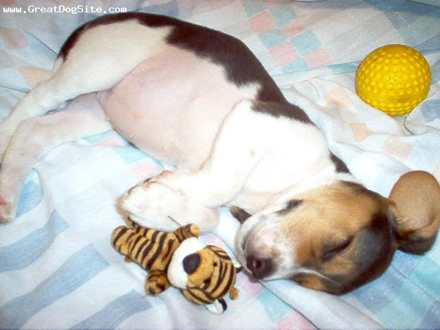 Beagle, 5 weeks, tricolor, Sleeping with her tiger toy.