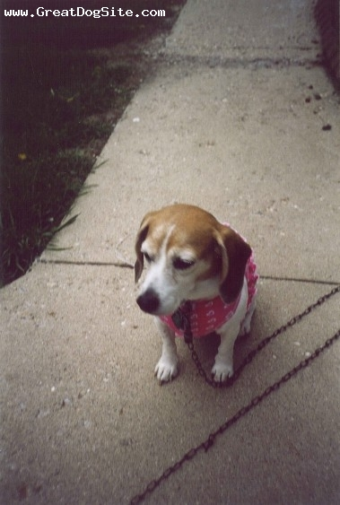 Beagle, 7 yrs, tri color, Shane and Jodee Kempel owners Cassie is a miniature beagle!!