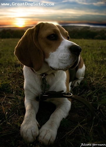 Beagle, 8 months, Brown and White, outside