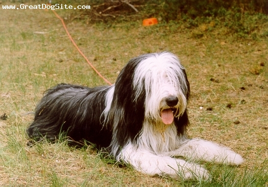 Bearded Collie, 1.5 years, Black and White, shaggy dog