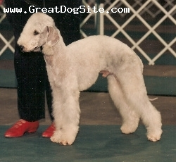 Bedlington Terrier, 2, Blue, Top Living Sire 2003 - 2007 Sire of 19 Bedlington Terrier Champions and numerous great performance dogs.