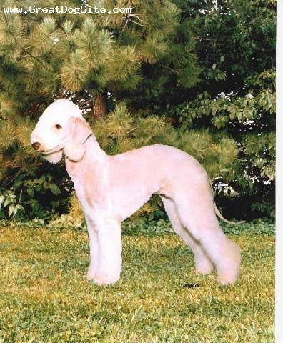 Bedlington Terrier, 2, Liver, Top Producing Bedlington Dam of all time with 16 Champions. She is also a multiple Terrier Group winner