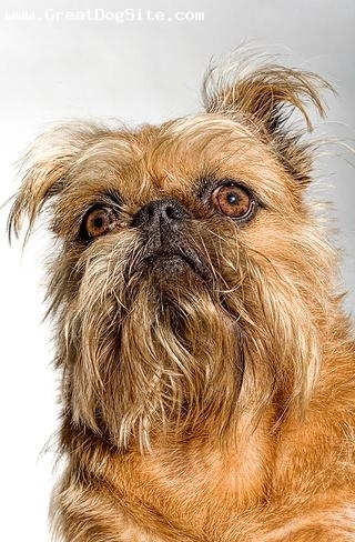Brussels Griffon, 1.5 years, Brown, scarry face
