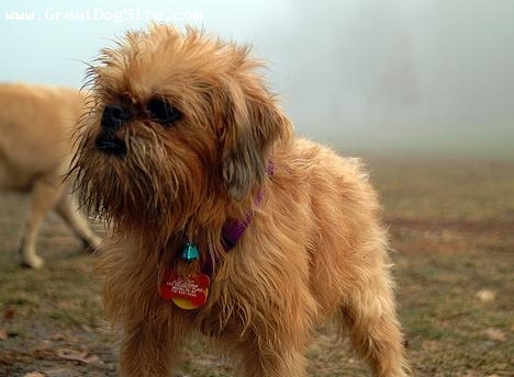 Brussels Griffon, 10 months, Brown, hey bud