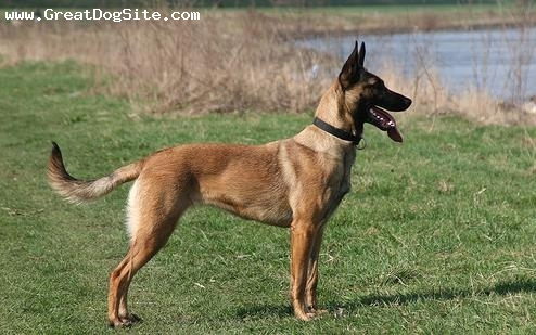 Belgian Malinois, 11 months, Brown, posing for the camera