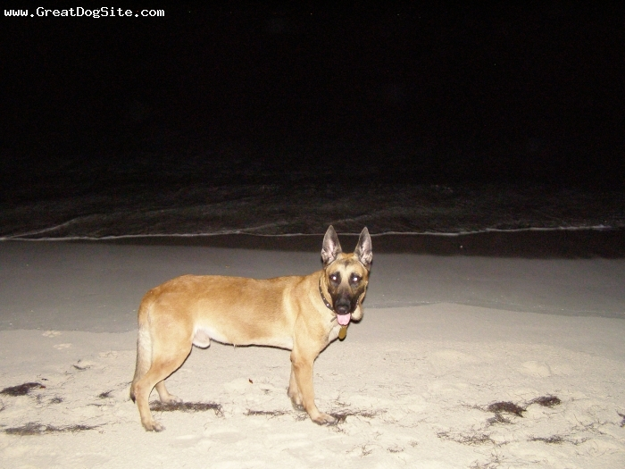 Belgian Malinois, Two, Tan, skinny dipping at night in Anguilla