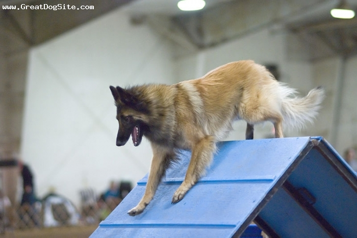 Belgian Tervuren, 1.5 years, Brown, at a dog show