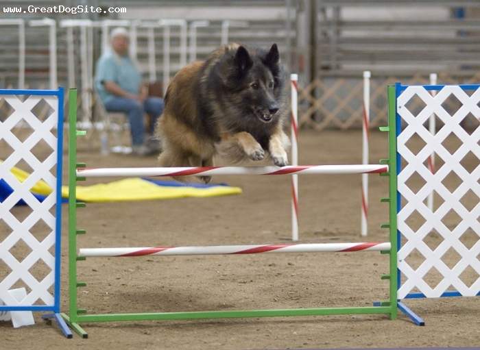 Belgian Tervuren, 3 years, Brown, high jump