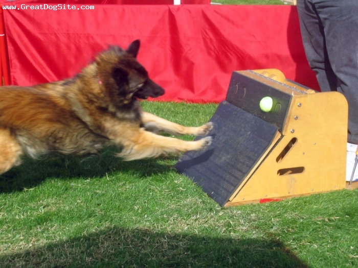 Belgian Tervuren, 3 years, Brown, fetch that ball buster